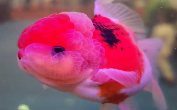 金鱼饲养方法有哪些?